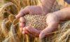 واردات ۶ میلیون تن گندم به کشور