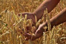 همهگیری بیماریهای گیاهی و تاثیر منفی ۳۰ درصدی بر محصولات غذایی