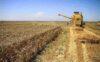 حجم زیادی از گندم تولیدی به مصرف دام رسید/ خشکسالی باعث کاهش ۴۰ درصدی کشت دیم شد/ خرید ۴.۵ میلیون تن گندم از خارج کشور